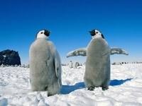 Два пингвина на снегу