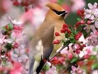 Коричневая птичка на цветущей ветви