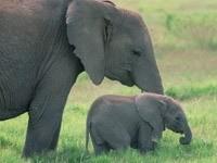 Слон с малышом