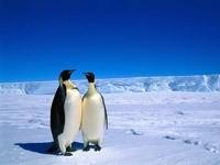 Два пингвина общаются