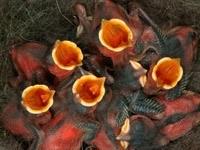 Голодные птенцы в гнезде