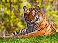 Тигр на траве