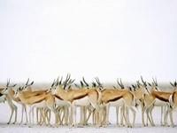Стадо антилоп на снегу
