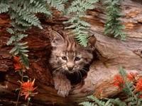 Котёнок рыси в логове