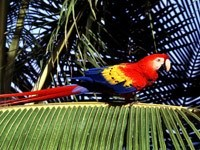 Красно-желто-синий попугай на пальме
