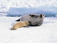 Морской котик кормит малыша