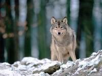 Волк в лесу зимой