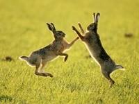 Бой двух зайцев