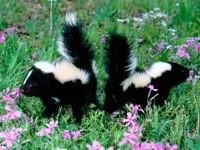 Два маленьких скунса в траве