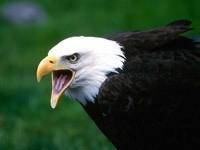 Крик белоголового орлана