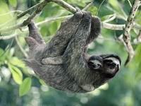 Ленивец с малышом