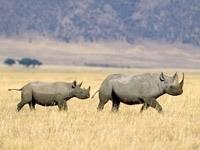 Носорог с детёнышем