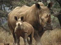 Носорог с малышом