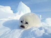 Белый морской котик в сугробах