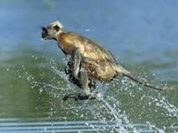 Мартышка прыгающая по воде
