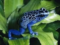 Сине-черная лягушка на растении