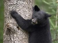 Черный медведь на дереве