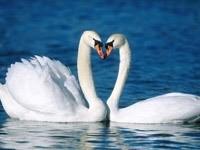 Пара  белых лебедей в пруду