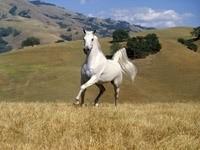 Белый конь в степи
