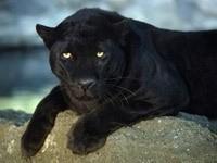 Черная пантера лежит на камне