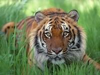 Тигр лежит в траве