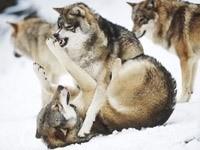 Игры волков на снегу