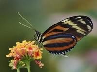 Коричневая бабочка на цветке