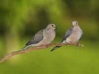 Пара голубей на ветке