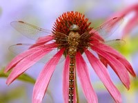 Стрекоза на цветке
