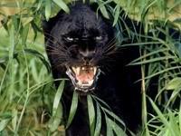 Оскал пантеры