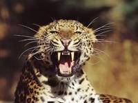 Клыки леопарда