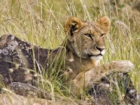 Львёнок на камнях в траве