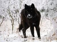 Черный волк в заснеженном лесу