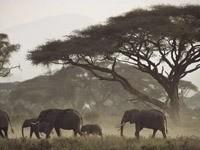 Стадо  слонов в лесостепи