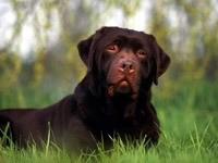 Коричневая собака лежит  на траве