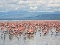 Стаи розовых фламинго в воде