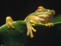 Зелёная лягушка на листке