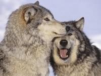Пара волков играются