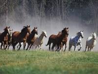 Бег табуна  лошадей из леса