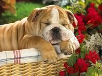 Собака спящая в корзине