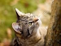 Устремлённый взгляд кошки