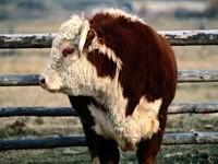Коровка в загоне