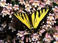 Желто-черная бабочка на цветах