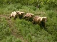 Семья медведей бежит по лесу
