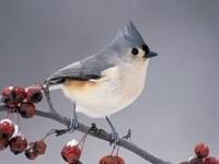 Серо-белая птичка на ветке рябины