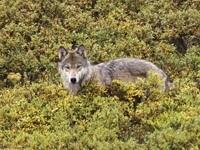 Волк в кустах