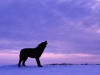 Волк воет на закате