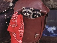 Два енота в сумке