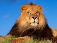 Наблюдательный  лев