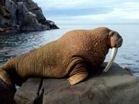 Морж на камне у моря
